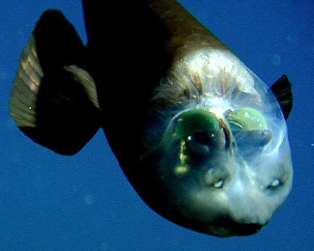 深海魚デメニギスのかわいい動画! | ダイビングと海の総合 ...