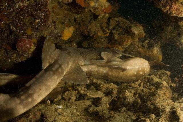 甲浦 シロボシテンジクザメ ダイビング